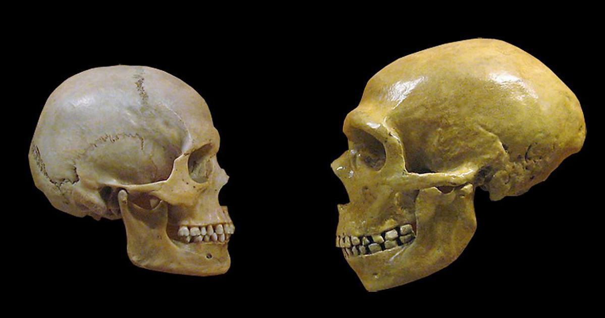 teschi di sapiens e neanderthal