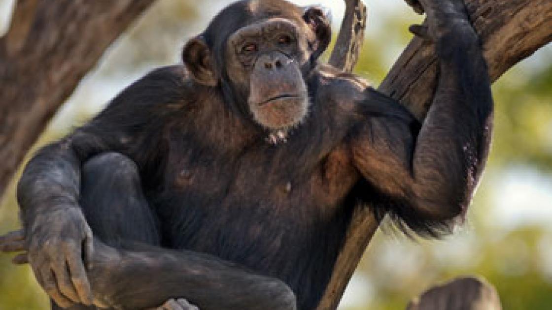 La Falsa Credenza : La u201cteoria della menteu201d delle grandi scimmie antropomorfe il bo