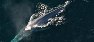 Il ritorno delle balenottere azzurre nella Georgia del Sud