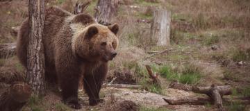 Orsi in Trentino: possibili approcci per migliorare la convivenza con l'uomo