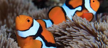 Il pesce pagliaccio e il mistero svelato della loro livrea